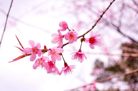ý nghĩa hình ảnh hoa anh đào trên bộ bát đĩa Bát Tràng cao cấp Hoa anh Đào